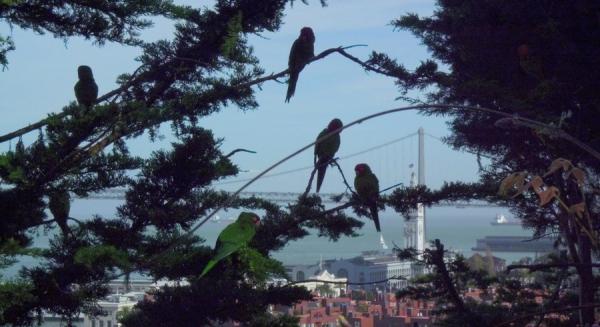 Les perroquets sauvages de Telegrah Hill